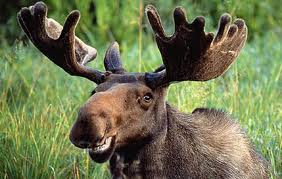 Marc the Moose